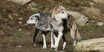 wolves_thumb